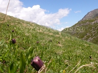 Black tulips on mt.Cheget